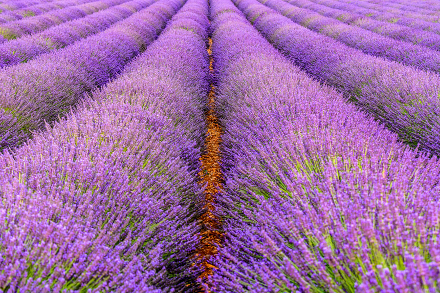 Provence, lavender 3 by Mateusz Horodecki on 500px.com