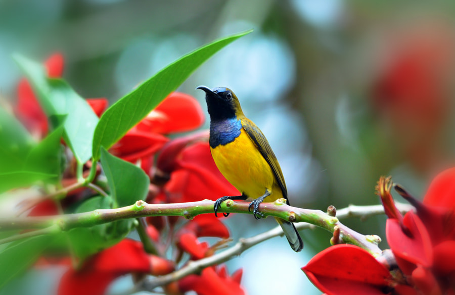 Photograph Sunbird - 2 by Khoo Boo Chuan on 500px