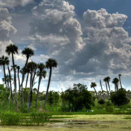 Sabal Palms and Clouds