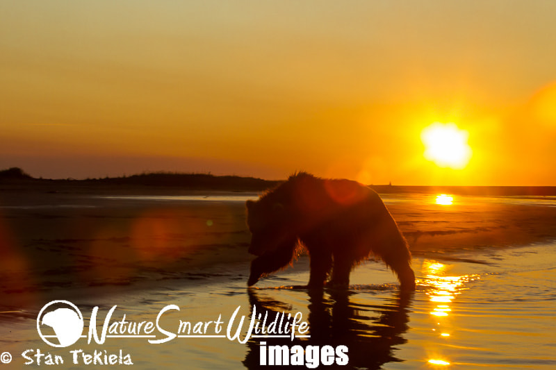 Photograph Sunrise Brown Bear on Beach by Stan Tekiela on 500px