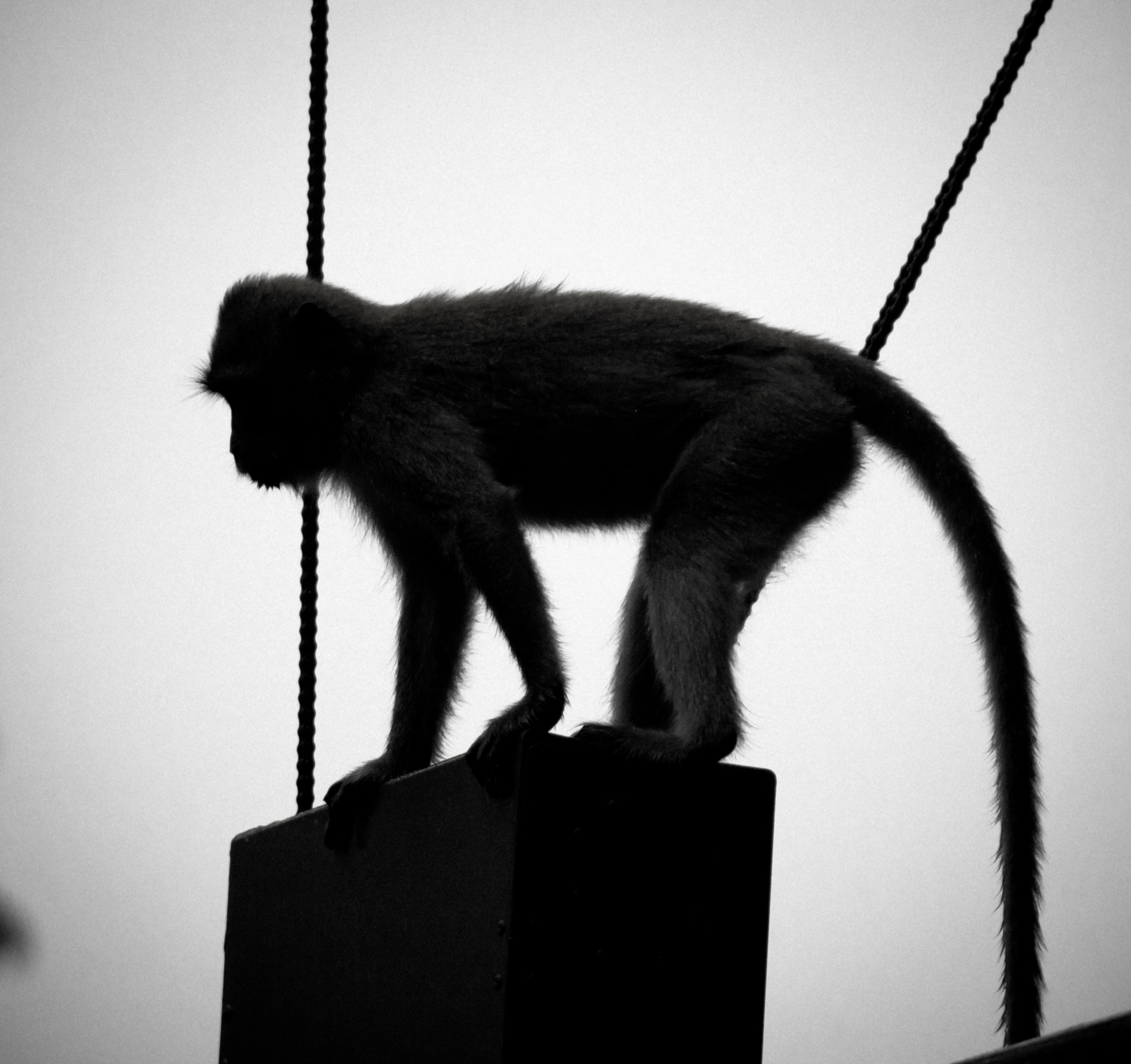 Photograph Backlit monkey by smash ouille on 500px