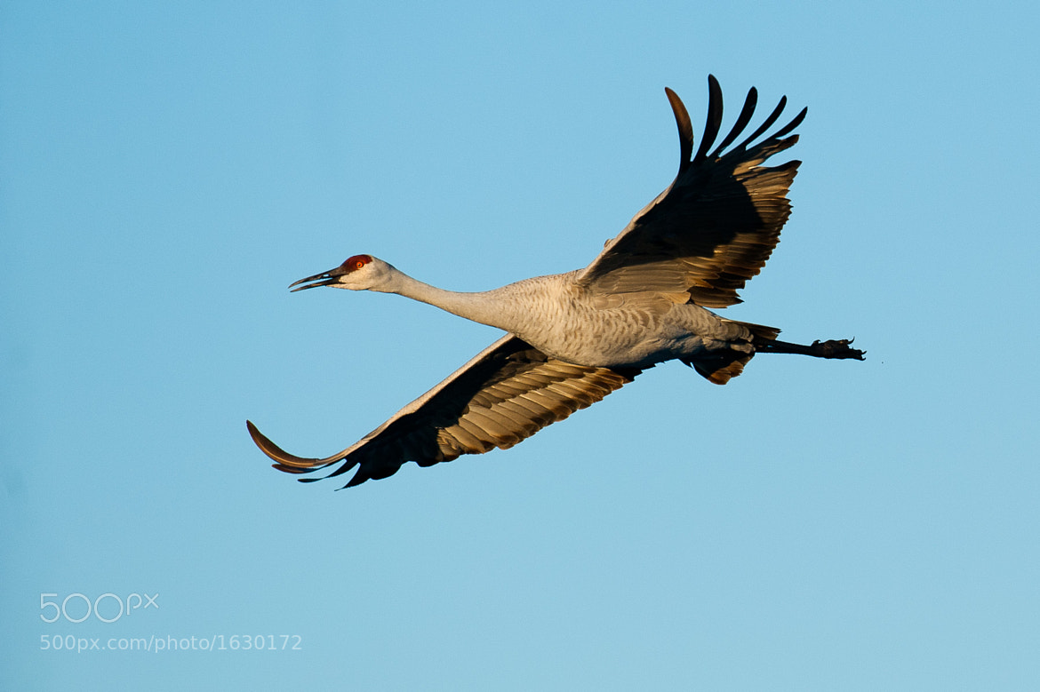 Photograph Sandhil crane by Gorazd Golob on 500px