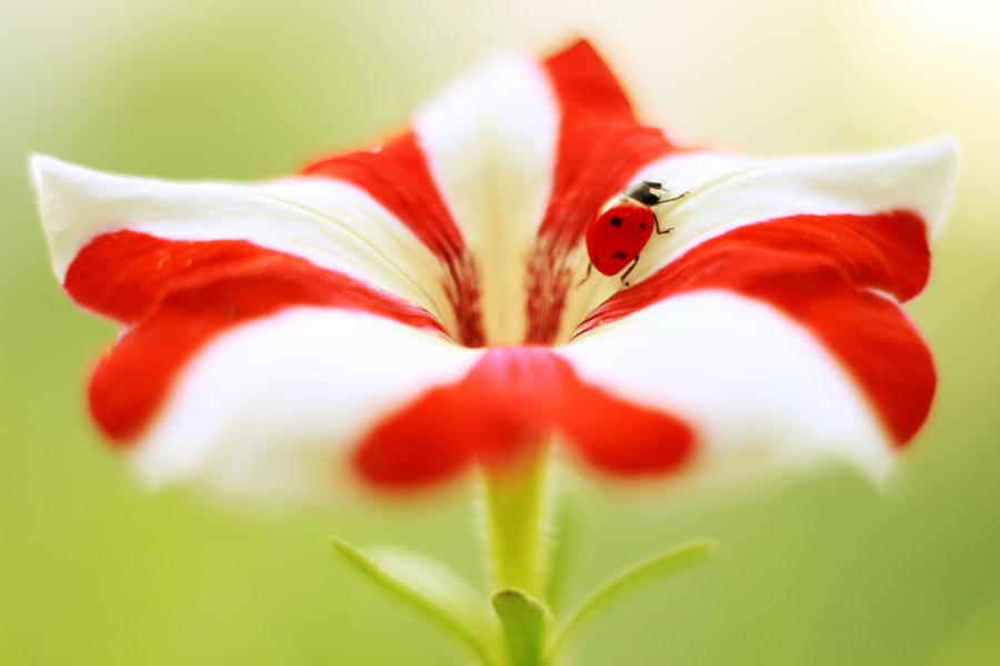 Petunia by Elena Andreeva on 500px