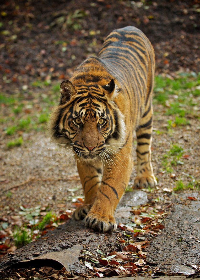 Photograph Tiger Tiger by Jon Pym on 500px