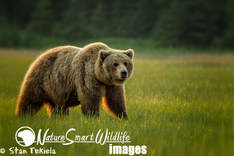 Photograph Brown Bear in sedge by Stan Tekiela on 500px