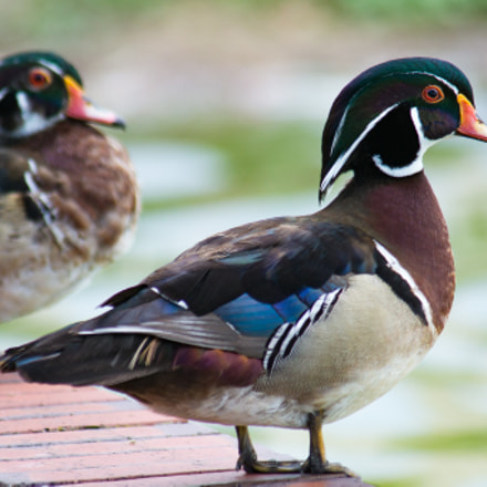 Wood Ducks At Lake, Sony SLT-A57, Tamron SP AF 200-500mm F5.0-6.3 Di LD IF