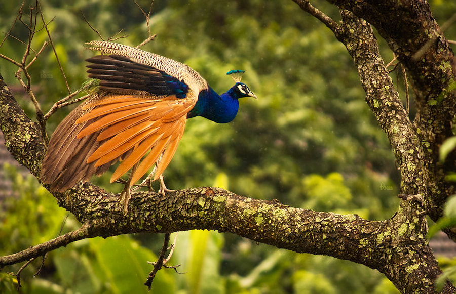 Photograph Peacock.. by Tom  Abraham Dcruz on 500px
