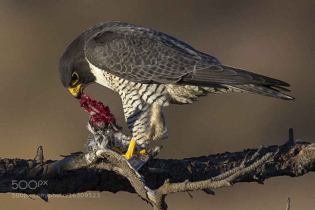 Photograph Peregrine Falcon with Dowitcher dinner by Elliot Lowe on 500px