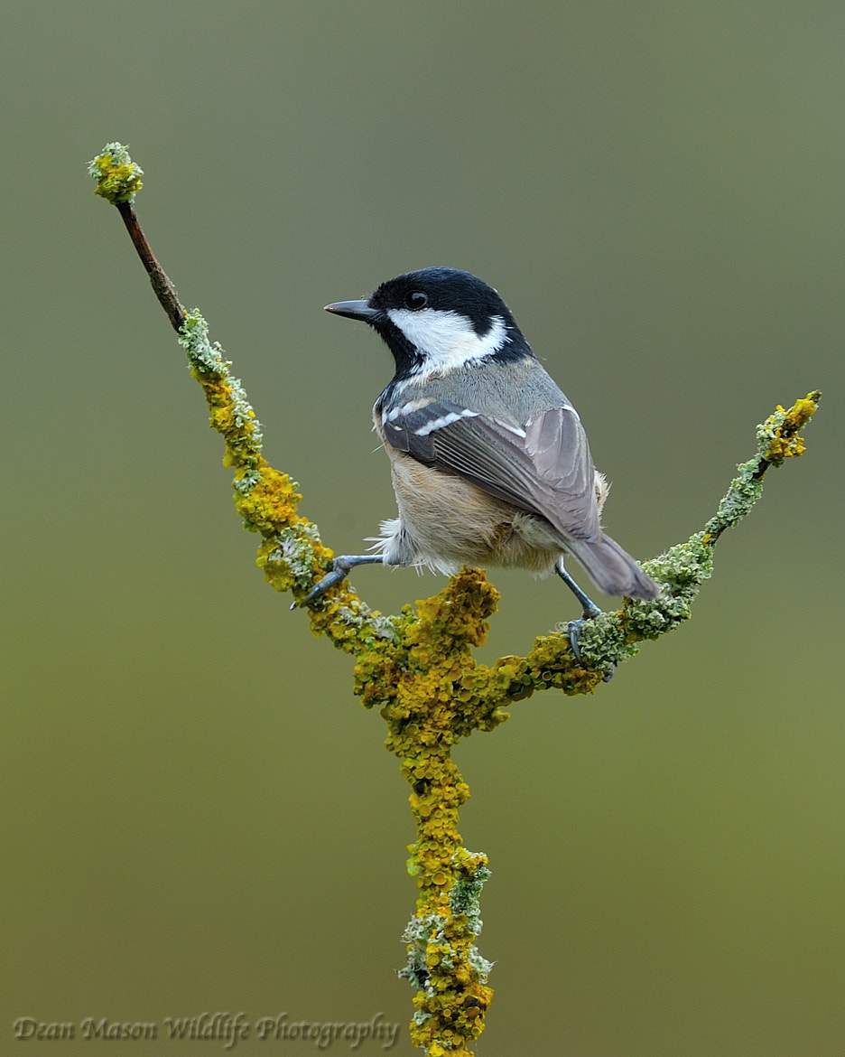 Photograph Coal Tit II by Dean Mason on 500px