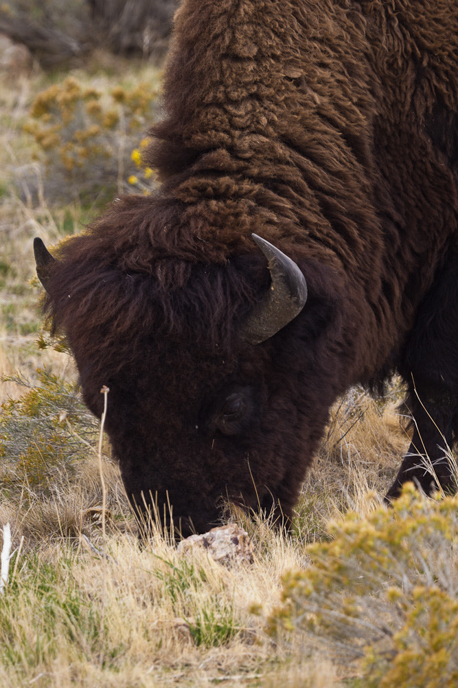 Photograph Grazing by Nick Jensen on 500px
