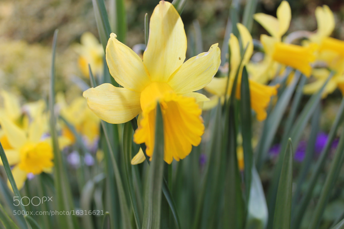 Photograph Daffodils by Olivia Graham on 500px