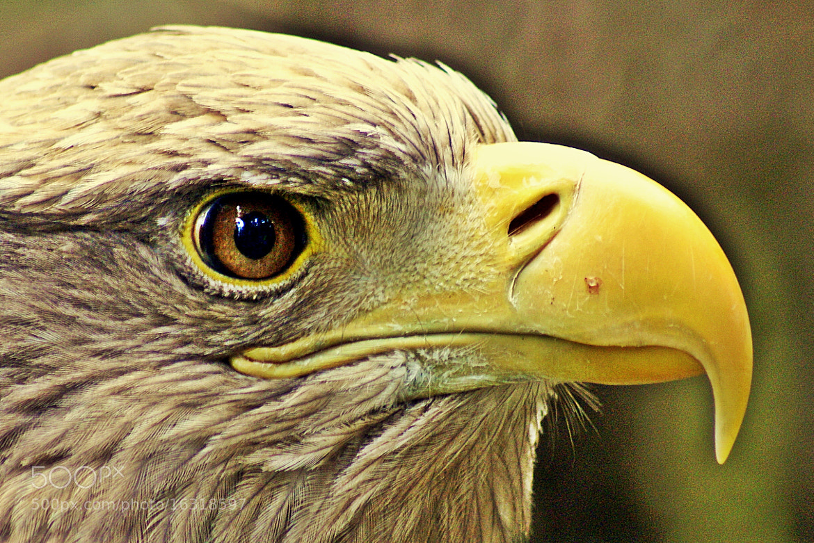 Photograph eagle eye by Tom Magnum on 500px