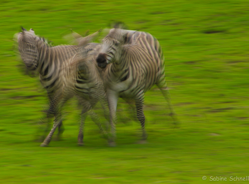 Photograph Zebras in motion by Sabine Schnell on 500px