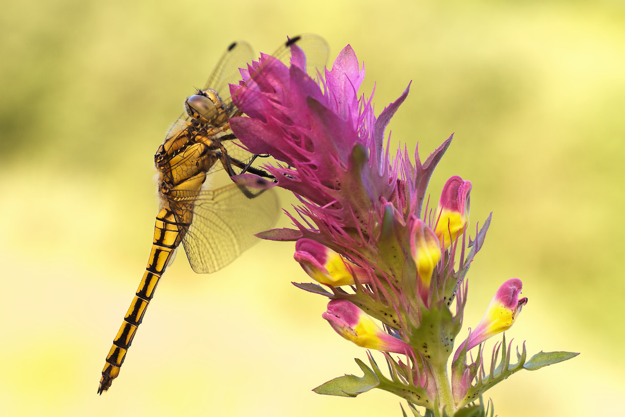 Photograph Dragonfly by Dirk Seifert on 500px
