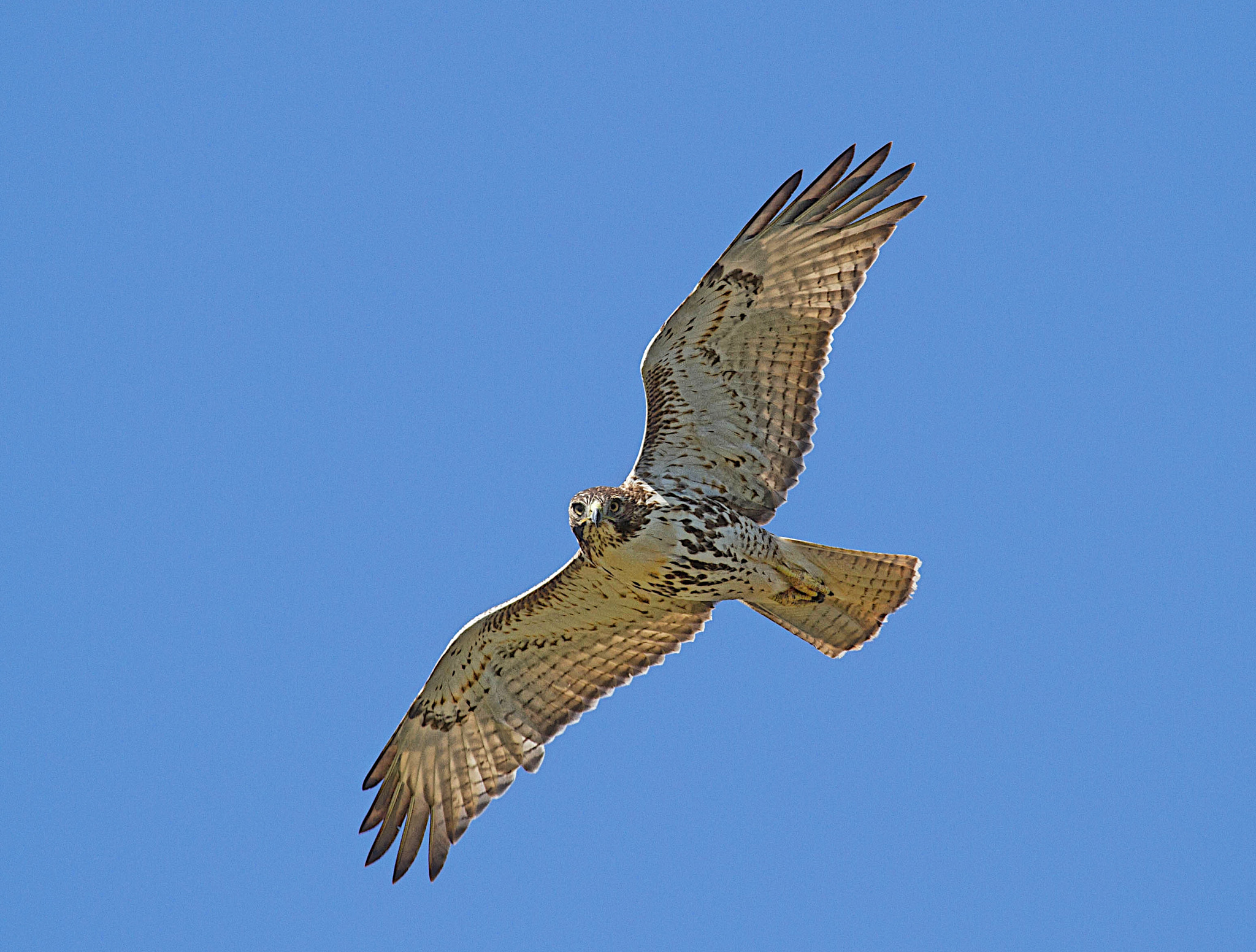 Photograph Red-tailed Hawk by Matt Mullins on 500px
