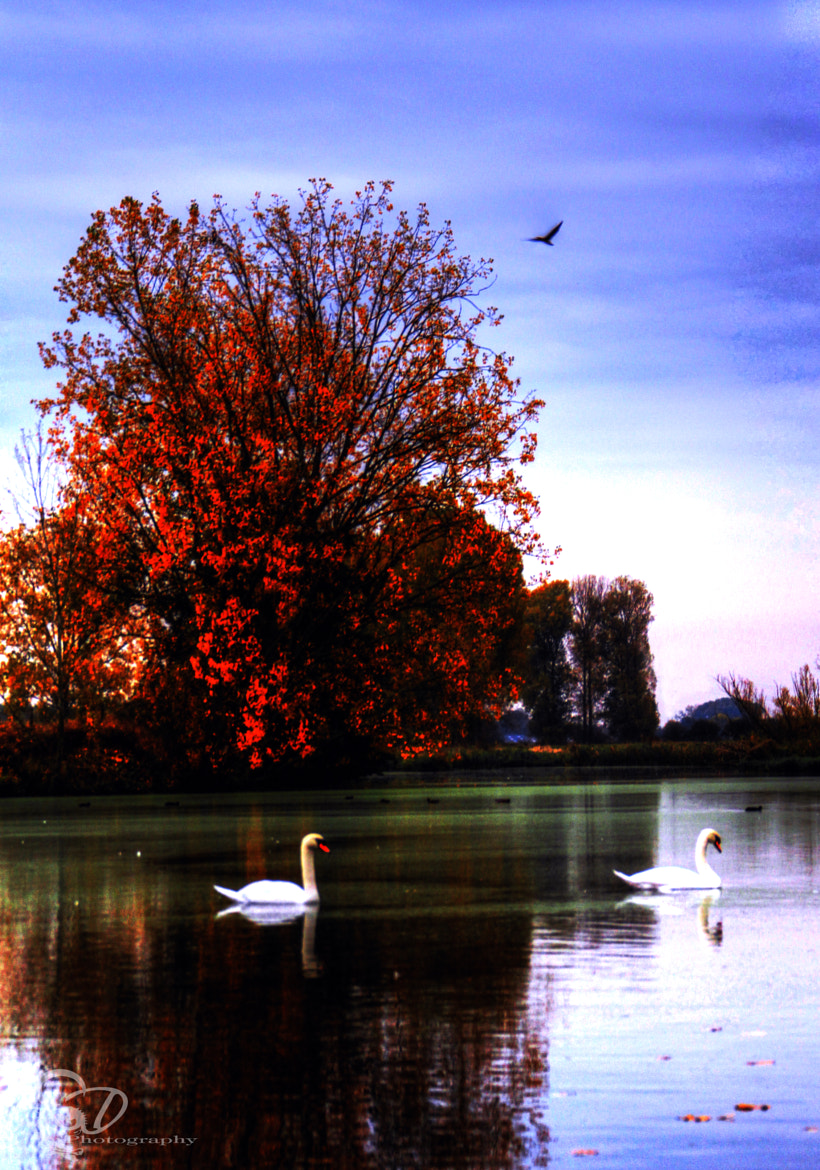 Photograph fall swan lake by Danny schurgers on 500px