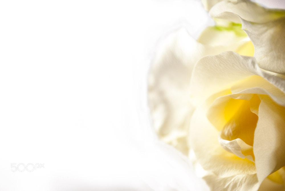 Photograph White Rose by Dana Dusterhoft on 500px