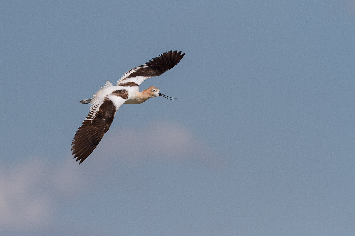 Photograph American Avocet by Jeff Bingham on 500px