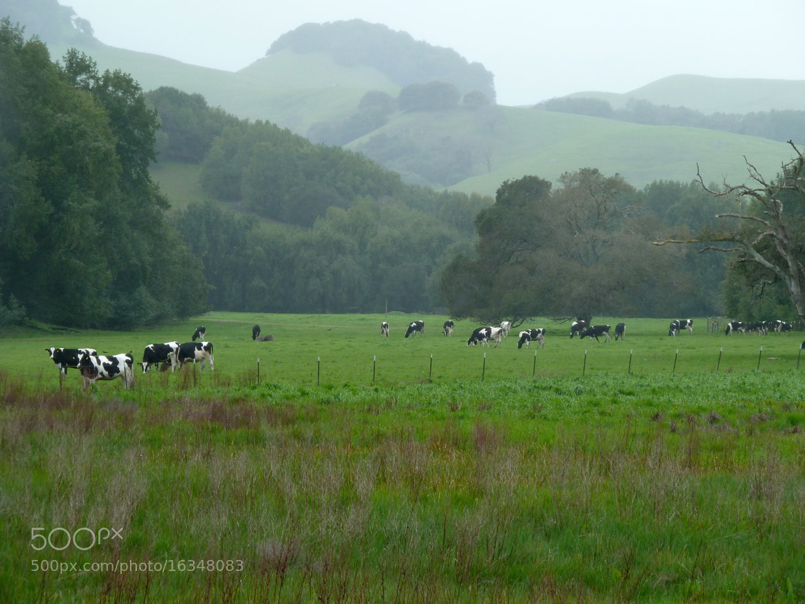 Photograph Dairy cows at Stafford Lake by Alexia Moore on 500px