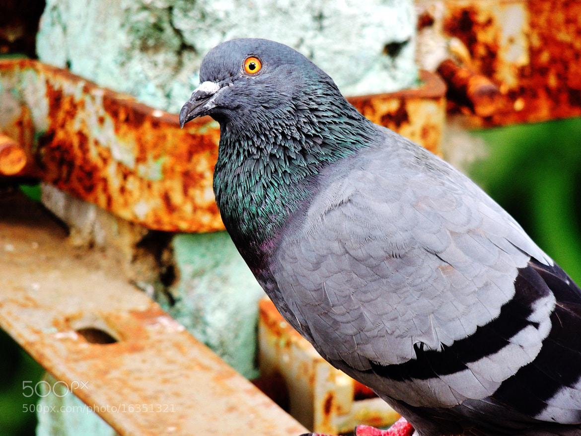 Photograph Sharply Dressed Pigeon. by Ravi S R on 500px