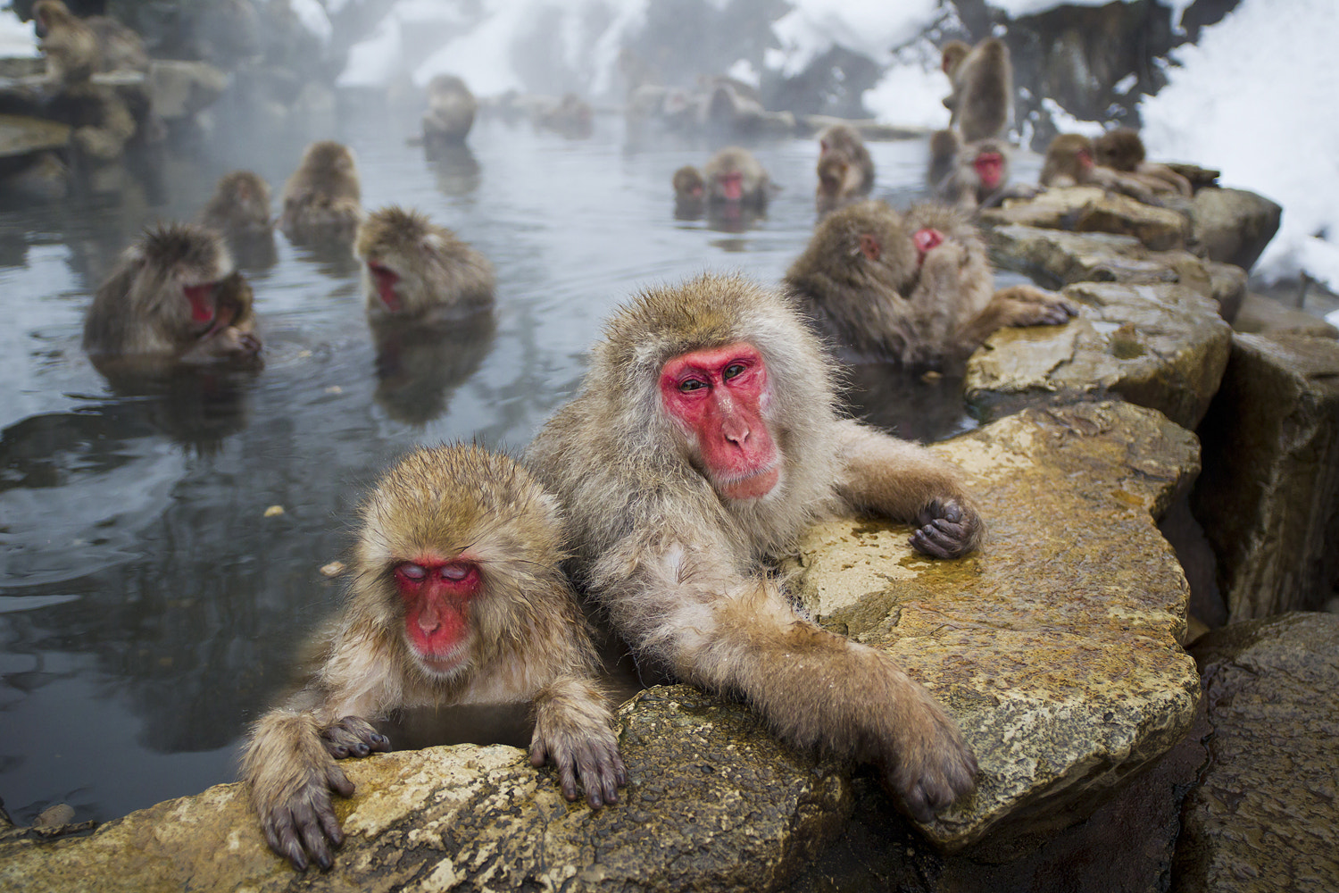 Photograph Japanese Macaque by Tobias Hayashi on 500px