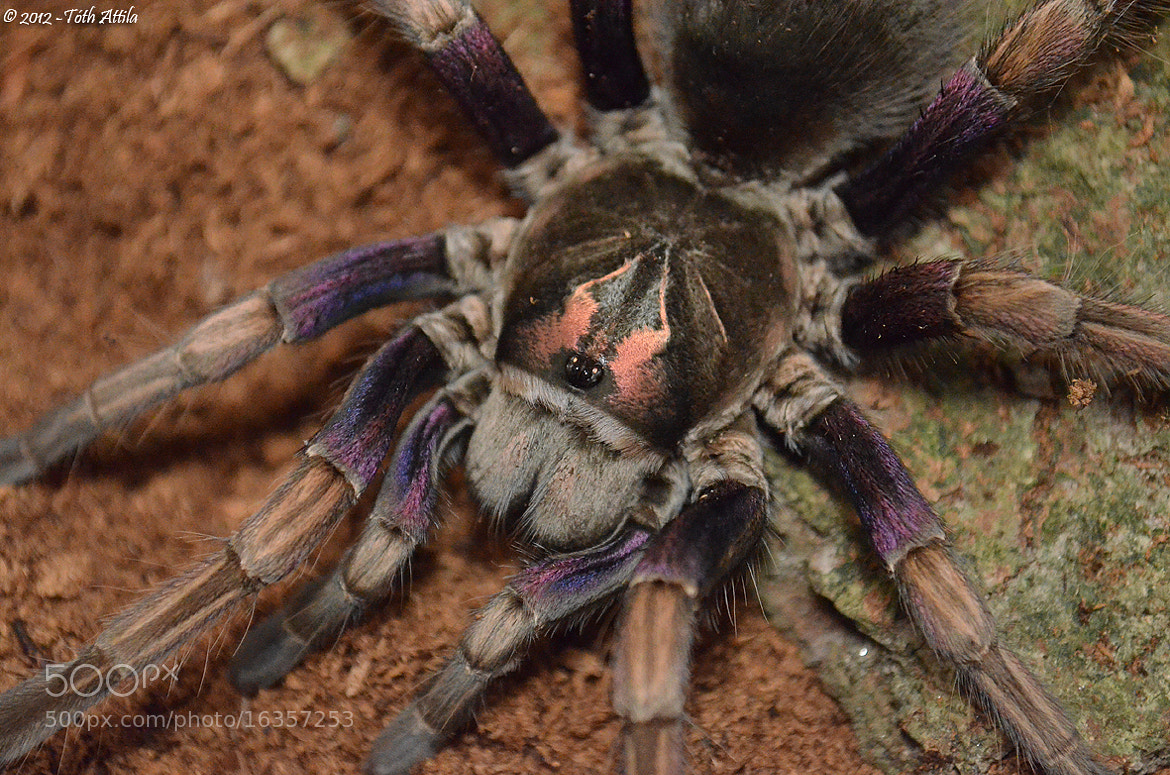 Photograph Pamphobeteus ultramarinus by Attila Toth on 500px