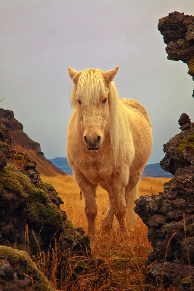 Photograph Icelandic Horse by Tim Vollmer on 500px