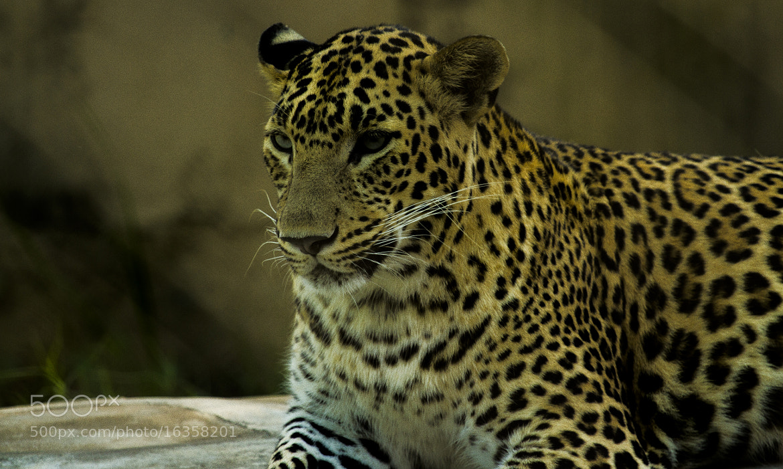 Photograph Leopard  by Akshun Babbar on 500px