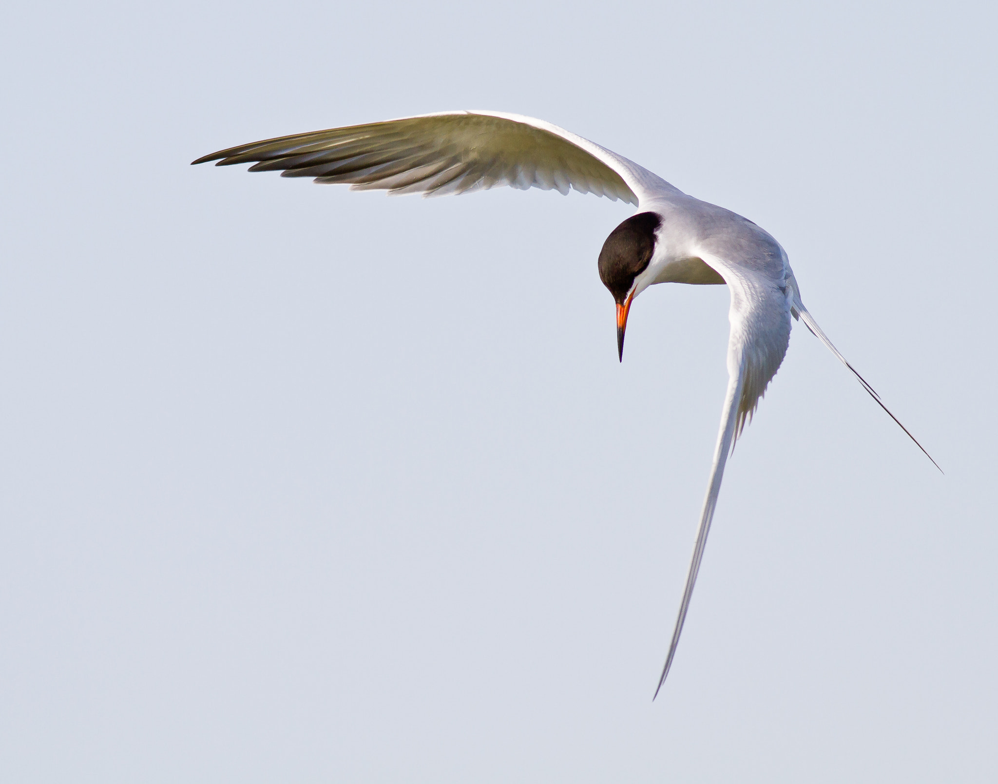 Photograph Diving Tern by Russell Cronberg on 500px