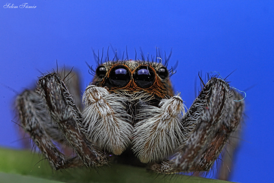Photograph jumping spider by selim tümir on 500px