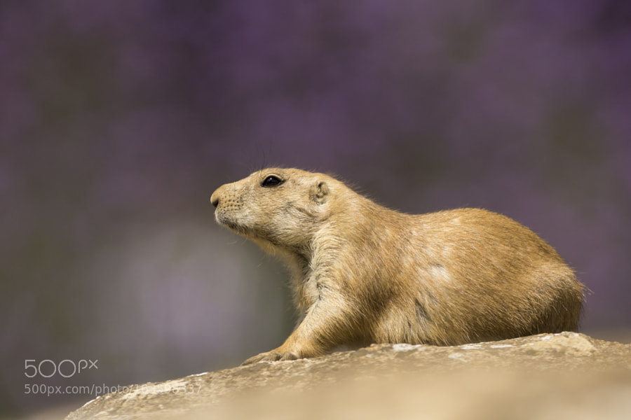 Black-tailed Prairie dog,rests in