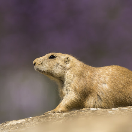 Black-tailed Prairie dog,rests in, Sony SLT-A77V