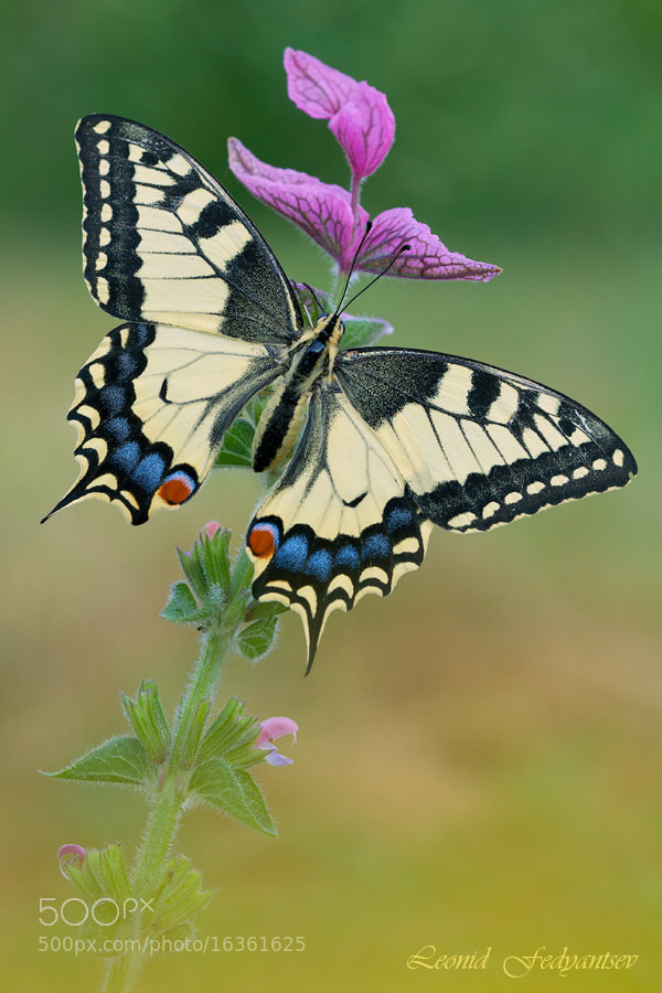Photograph Ms.Swallowtail On the  Muscatel Sage by Leonid Fedyantsev on 500px