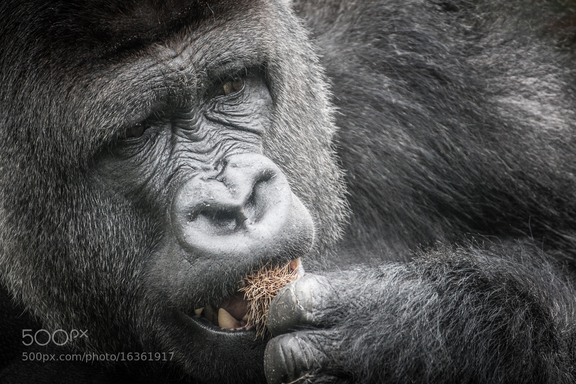 Photograph Silverback gorilla by Frank Hazebroek on 500px