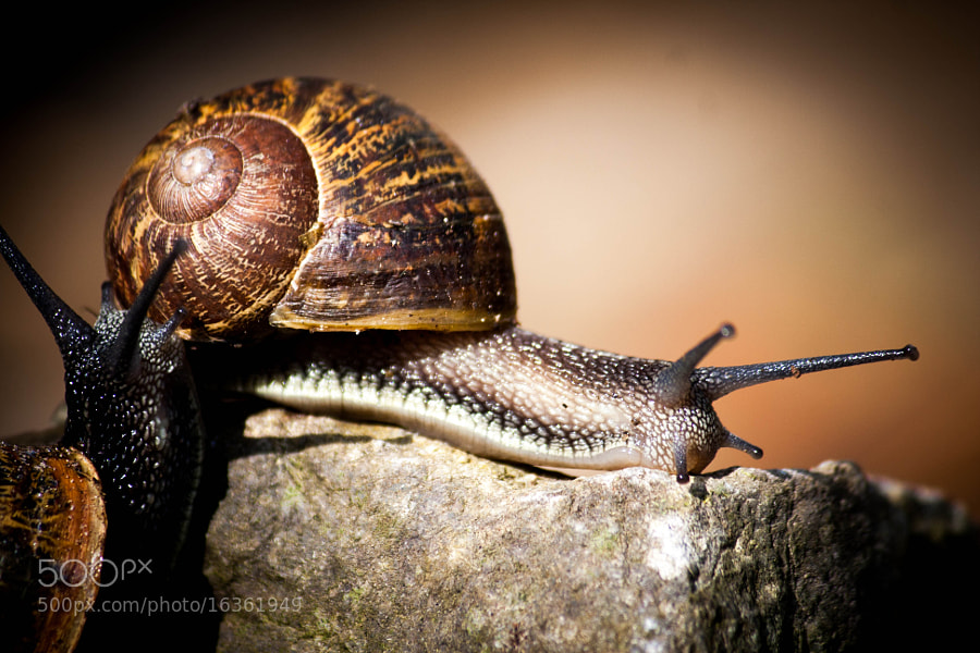 Photograph snail by ronny van casteren on 500px