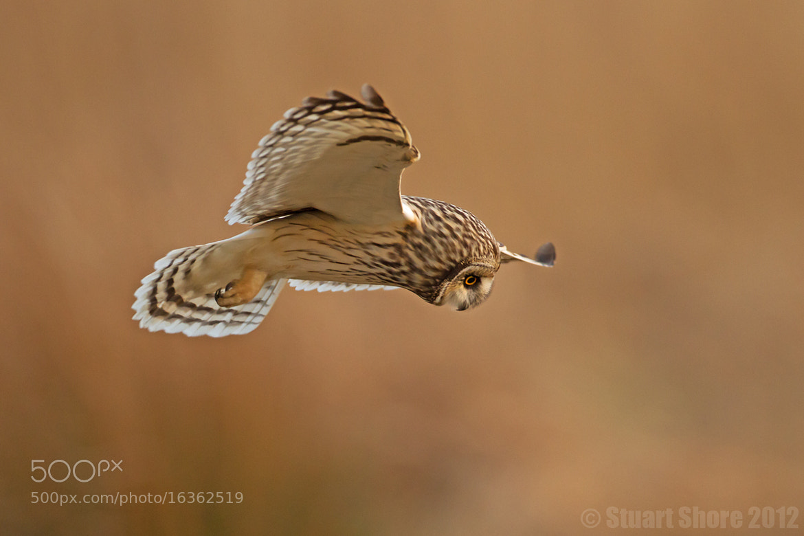 Photograph Short Eared Owl by Stuart Shore on 500px