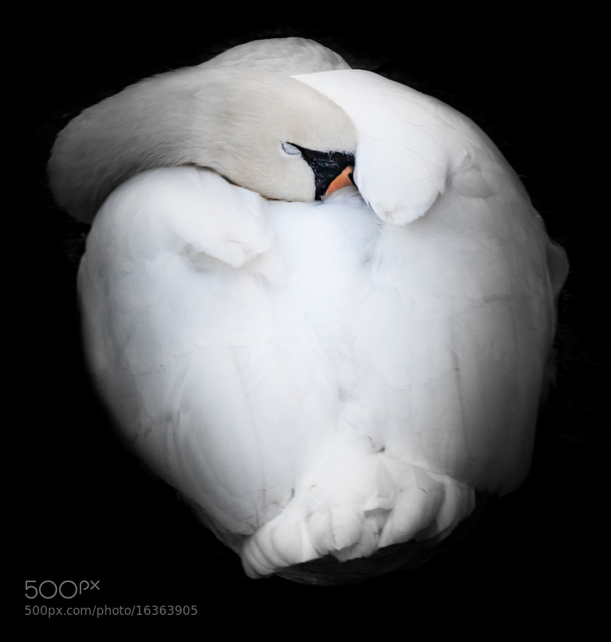 Photograph sleepy swan by Daniel Wewerka on 500px