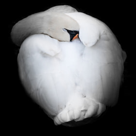 sleepy swan by Daniel Wewerka (DanSnaps)) on 500px.com