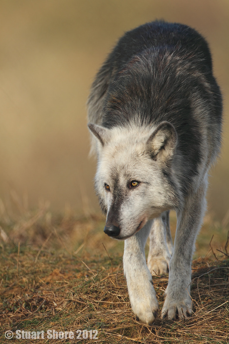 Photograph North American Wolf by Stuart Shore on 500px