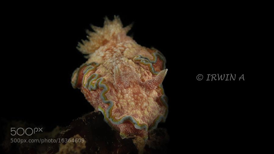 Nudibranch ( Glossodoris Cincta ) by IRWIN ANG (mackasha) on 500px.com