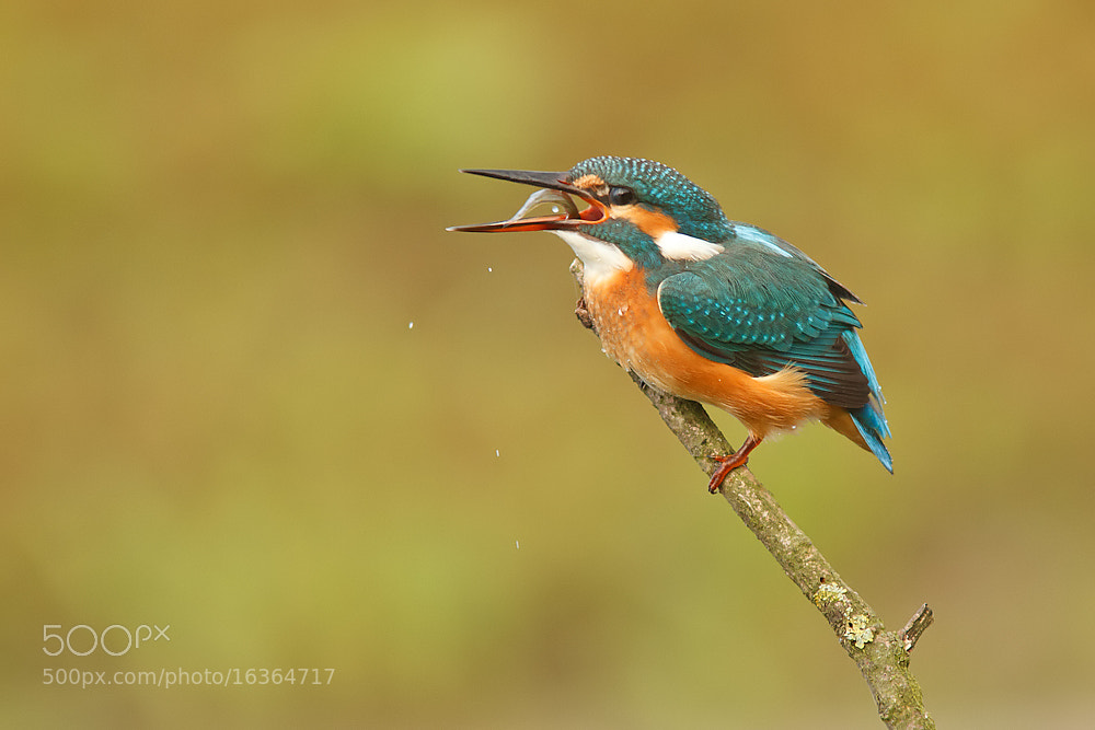 Photograph Kingfisher by Tom  Kruissink on 500px
