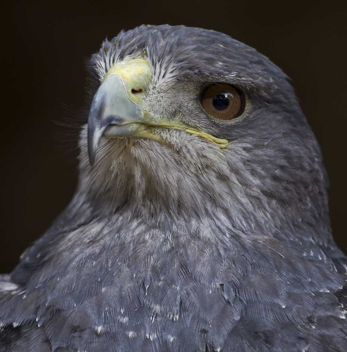 Photograph Hawk by Mark Tizard on 500px