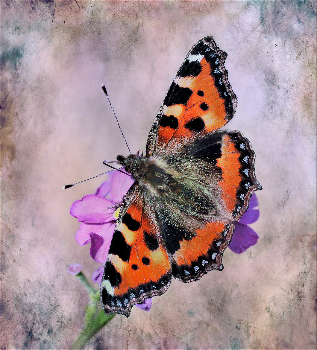 Photograph Small Tortoiseshell. by bri curtis on 500px