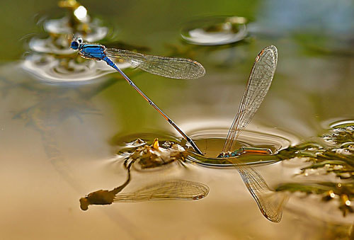 Photograph dragonflies  mating in water by Made Saputra on 500px