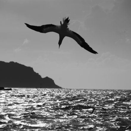 Diving Gannet, Canon EOS KISS X3, Canon EF-S 18-135mm f/3.5-5.6 IS