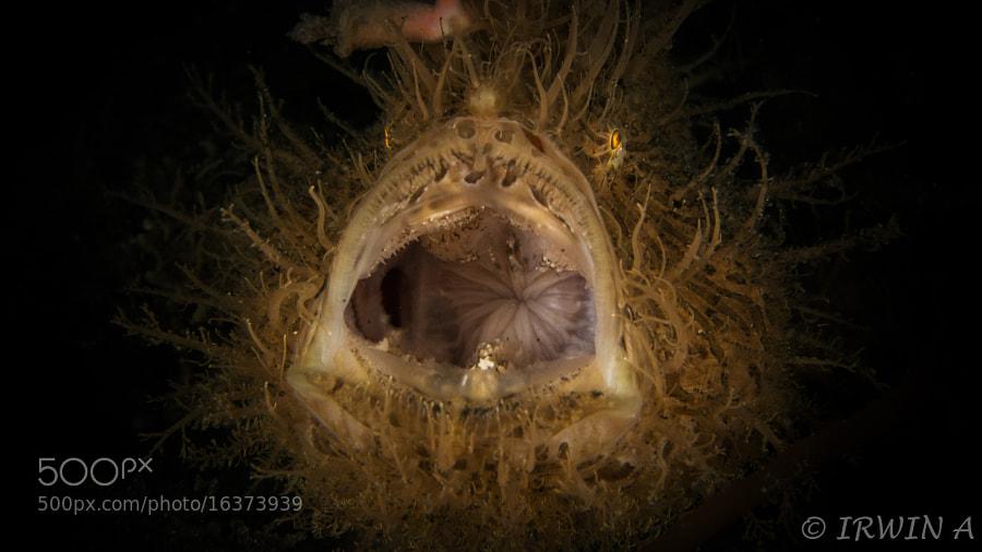 Hairy Frogfish ( Yawning ) by IRWIN ANG (mackasha) on 500px.com