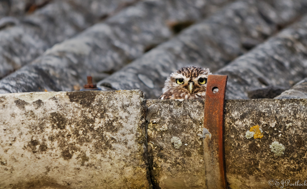 Photograph Little Owl  by Stephen Portlock on 500px