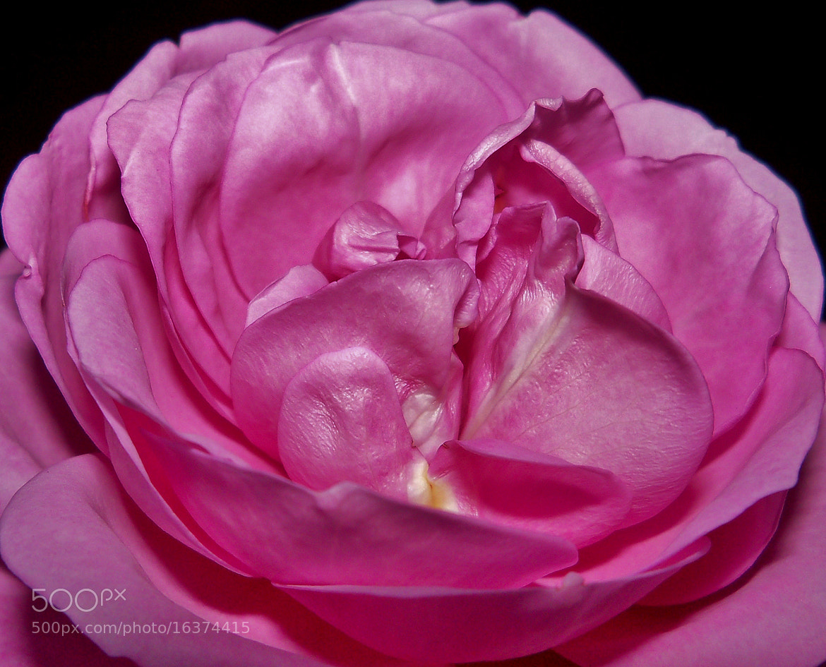 Photograph Pretty Pink Opening  by Nancy Andersen on 500px