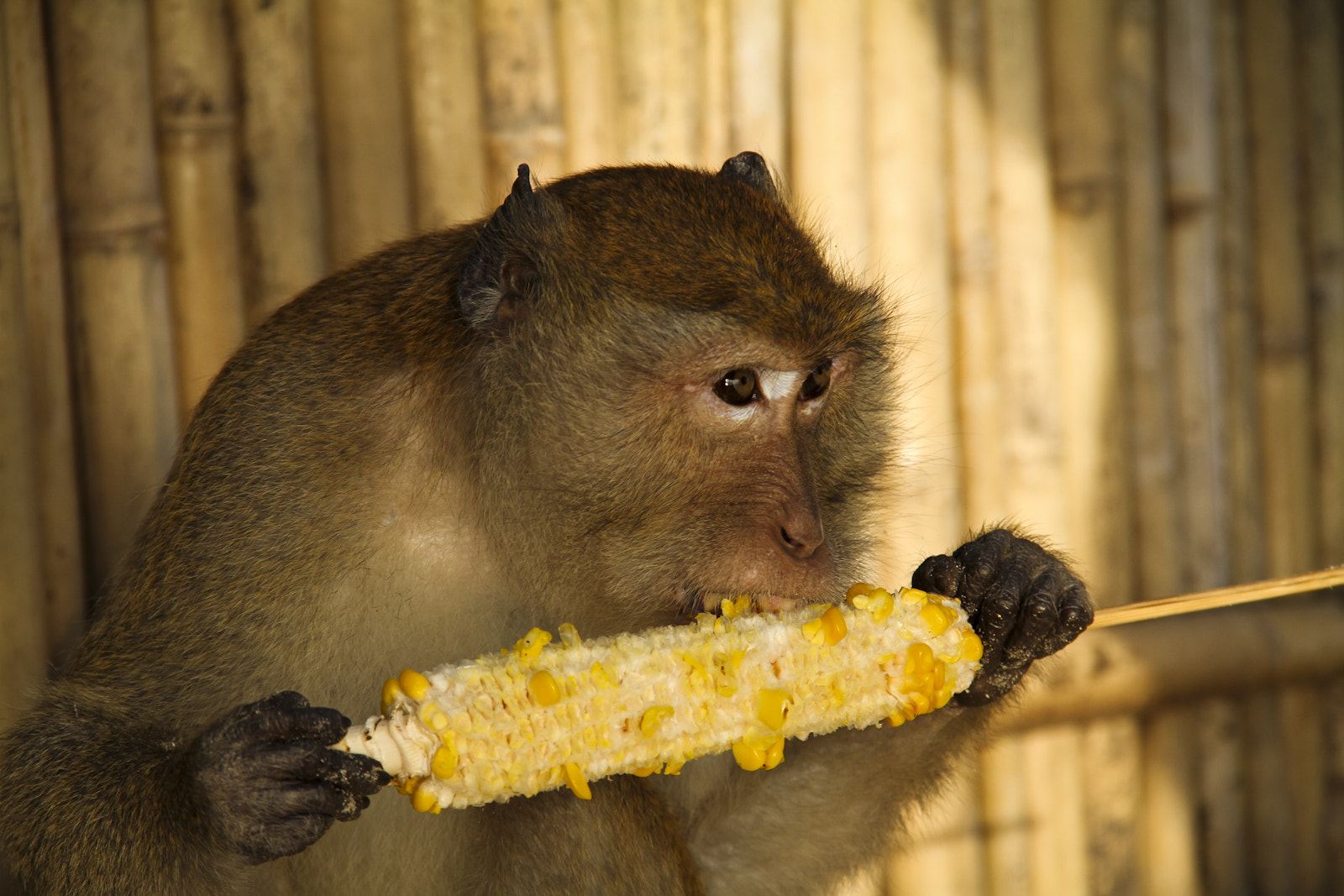 Photograph Macaca BBQ by Marco Wahl on 500px