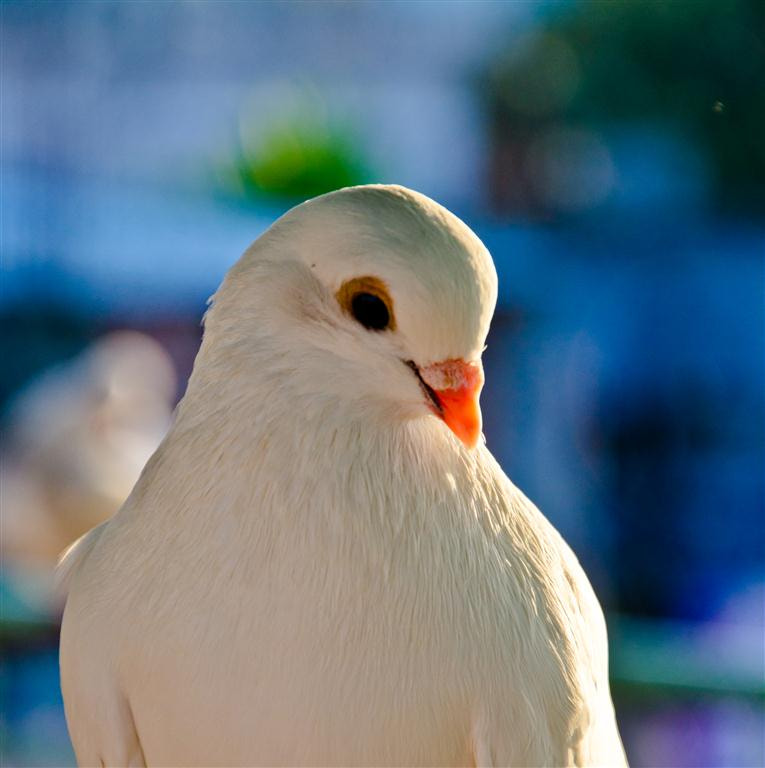 Photograph White Pigeon... by Main Palash on 500px